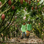 Philippine cacao Malagos Chocolates wins heirloom status