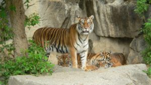 ENVIRONMENT FEATURE: Sumatra tigers in Palawan
