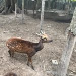 Philippine Bambi – the rarest deer species on Earth found on Negros Island